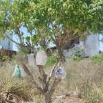Muellbaum-Brasilien-2
