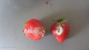 Erdbeeren-7379